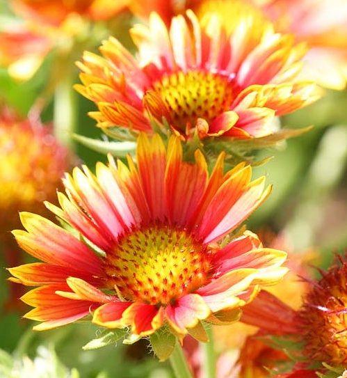 Heat Tolerant Perennials: 44 Best Images About Flower Gardens On Pinterest