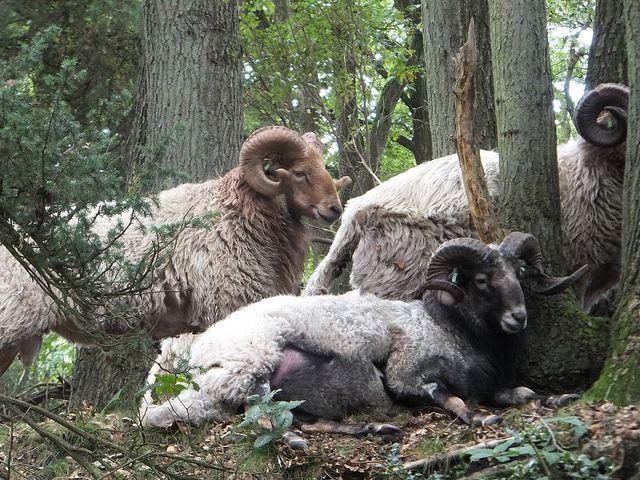 Kampsheide rams, drenthe heath sheep | Flickr - Photo Sharing!