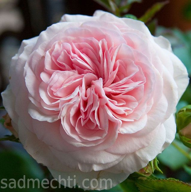 классическая английская роза-флоридина Мария-Тереза