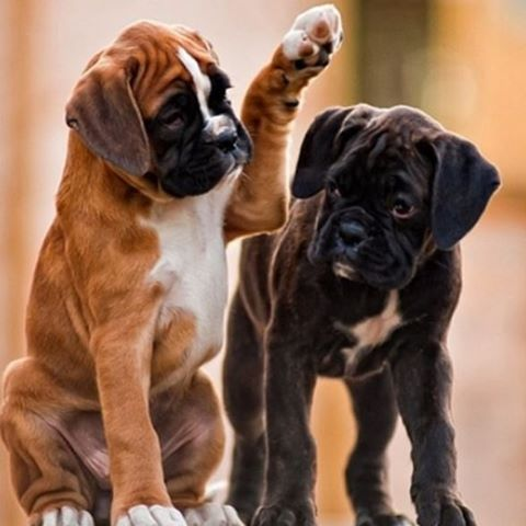 """High five, bro!"" ✋ #dog #photooftheday #cute #petstagram #supercute #tagforlikes #photooftheday #pet #dog"