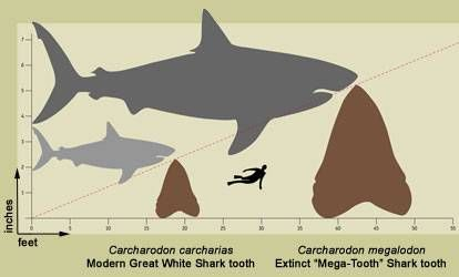 Prehistoric shark(Tiburon Megalodon)and tooth,compared to smaller modern Great White Shark and tooth