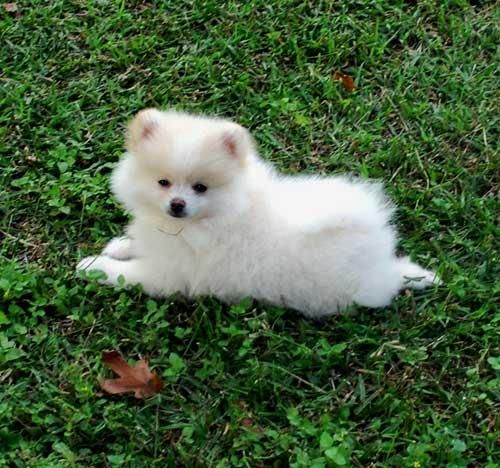 Adorable Pomeranian Puppies. For more cute puppies, check out our youtube channel: https://www.youtube.com/channel/UCH7efODYtEdnWfAm1eS4NMA