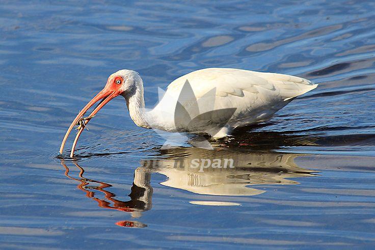 Royalty free stock photo, image | Snack Time - Birds, wildlife, Ibis, Shorebird, Snack time
