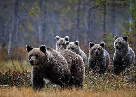 Karhu on Euroopan suurin maalla elävä petoeläin.  Eurooppalaisen ruskeakarhun pituus on 130-250 cm ja hännän pituus 5-15 cm. Naaras karhut painavat suunnilleen 60-170 kg ja uros karhut 100-230 kg. Karhut nukkuvat talviunta