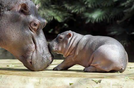 Google Image Result for http://www.smouse.force9.co.uk/hippopotamus04.jpg