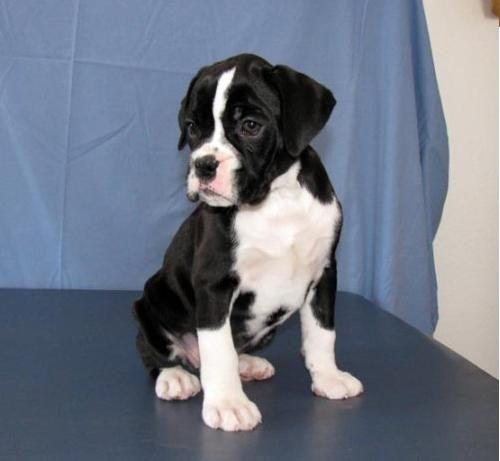 Black White Boxer Puppies