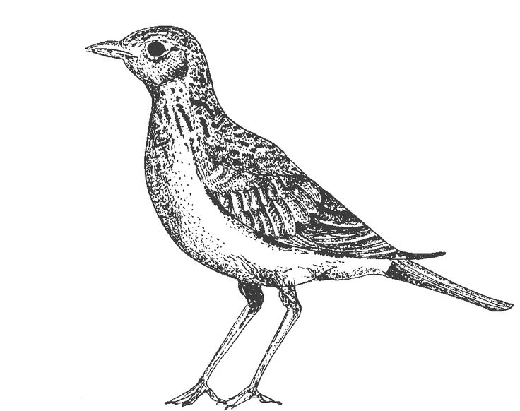 lark bird illustration