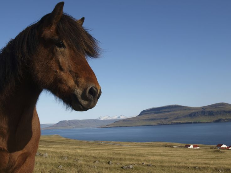 The Newfoundland Pony and the quest to help the breed from extinction. #Pony #Endangered #IWantOne