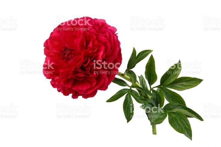 Burgundy peony flower isolated on white background Стоковые фото Стоковая фотография