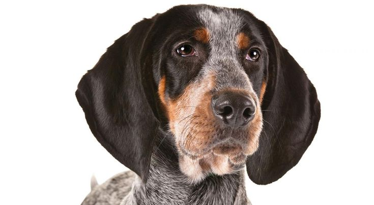 Bluetick Coonhound information including personality, history, grooming, pictures, videos, how to find a Bluetick Coonhound and AKC breed standard.