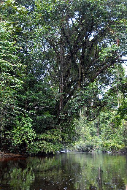 Taman Negara River door Taman Negara, oudste regenwoud ter wereld, nog ouder dan de Amazone in Latijns-Amerika. Het gebied is in 1938 tot nationaal park verklaard, en is sindsdien het grootste nationale park van Maleisie.