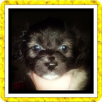 Tulsa Ok Bichon Frise Mix Meet Adopted Callie S Tx A Puppy
