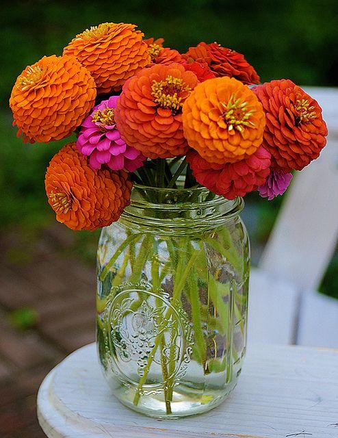 beautiful zinnias