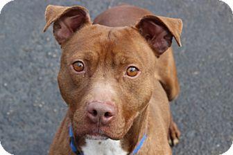 Port Washington, NY - Pit Bull Terrier Mix. Meet Killian, a dog for adoption. http://www.adoptapet.com/pet/10260589-port-washington-new-york-pit-bull-terrier-mix