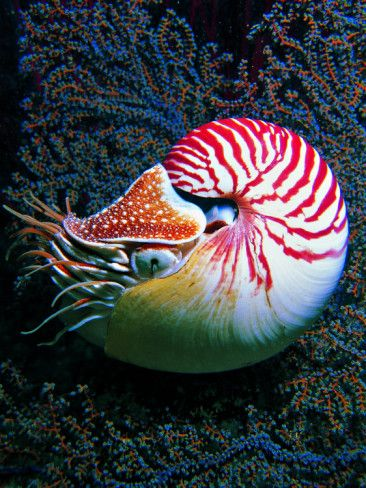 "... this would be my long-lost cousin Bob.  Nautilo (Nautilus Pompilius) often considered ""living fossils."""