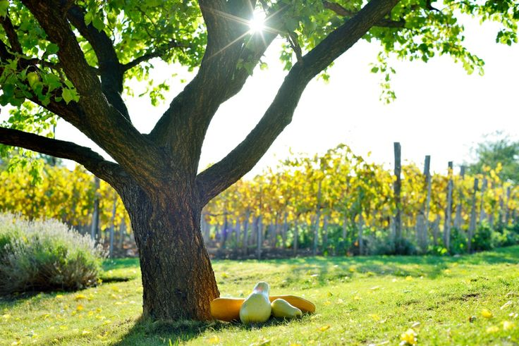 Leaves turning, squash catching the final rays of sunshine at Catherine's Vineyard Cottages.