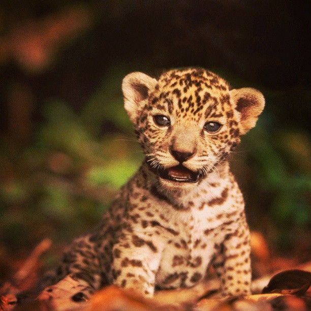 Baby Jaguar. #yasuni #yasuniitt #babyanimals, Via Flickr