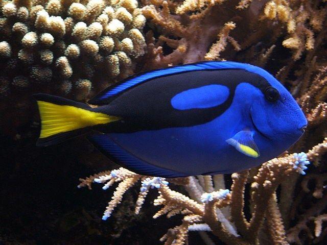 Se o Nemo é um peixe-palhaço, então, que tipo de peixe é a Dory?
