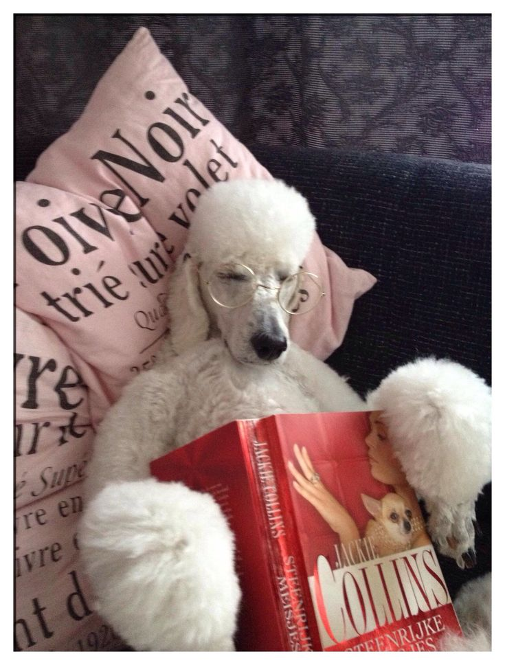 "#poodle #white #poodles #standard ""Lazy poodle Eefje reads Jackie Collins."""