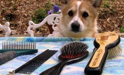 Corgi Grooming 101 good tutorial that recommends products