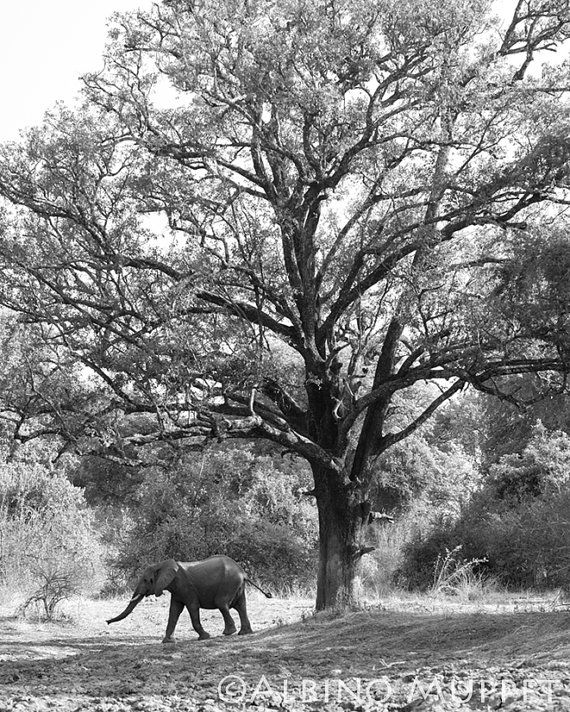 Lonesome Elephant in black and white 8x10 print by albinomuppet