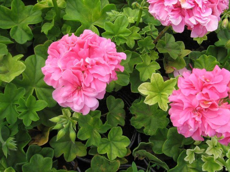 Les 221 meilleures images du tableau fleurs plantes sur pinterest am nagement jardin - Geranium lierre double retombant ...