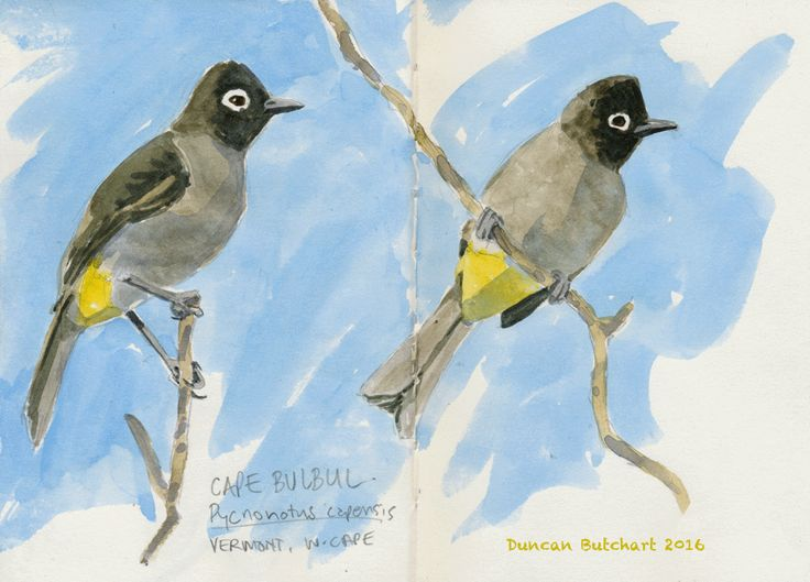 Cape Bulbul (Pycnonotus capensis). Vermont, Western Cape, South Africa.