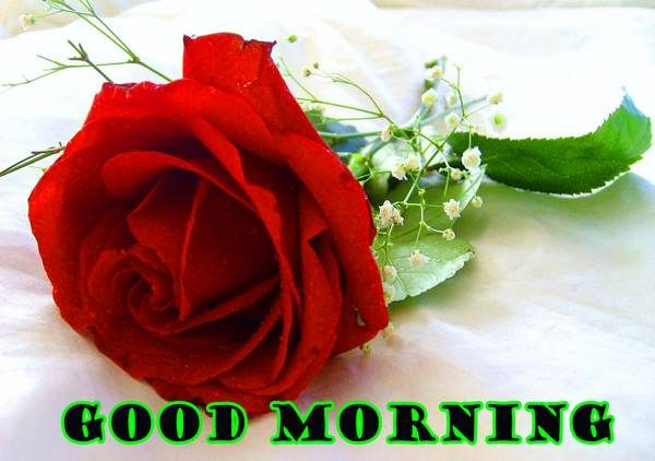 Red Rose Good Morning Image Hd Good Morning Rose Images Good Night Flowers Good Morning Roses