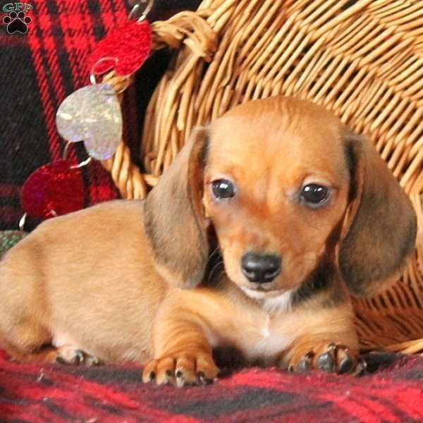 Sparky Dachshund Puppy Dachshund Puppy Funny Dachshund Puppy