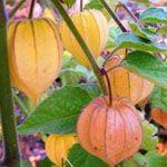 Goudbes - Fruitbomen.net Mobiel