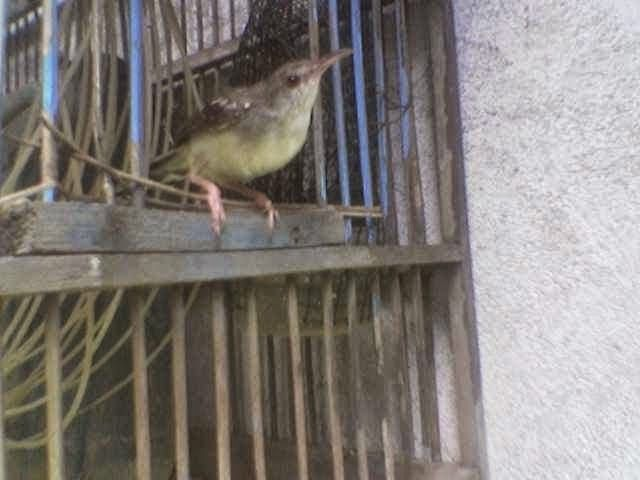 17 Best images about Burung Nusantara on Pinterest   Batu ...