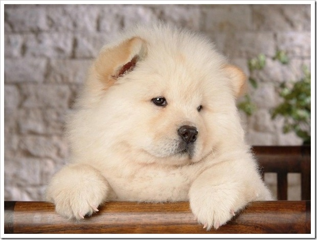 Must see Chow Chow Chubby Adorable Dog - 7f4d9841e4a8fb85ee6eadb7df3601f9--chow-chow-puppies-puppy-pictures  Image_34182  .jpg