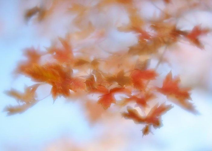 Autumn Maple Leaves Greeting Card featuring the photograph Autumn Maple Leaves Soft by Diane Alexander