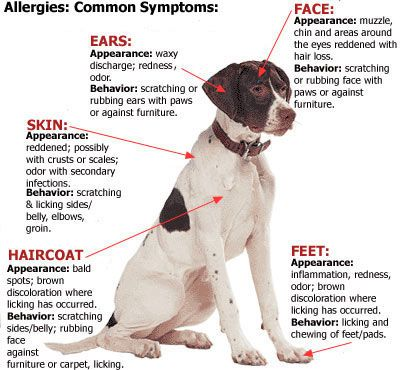 symptoms of a dog's allergies