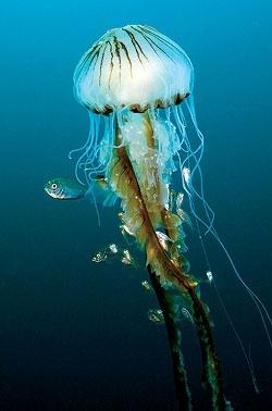 Jellyfish the-natural-world