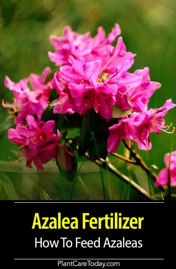 How To Feed Azaleas Azaleas Care Azalea Fertilizer Azalea Shrub