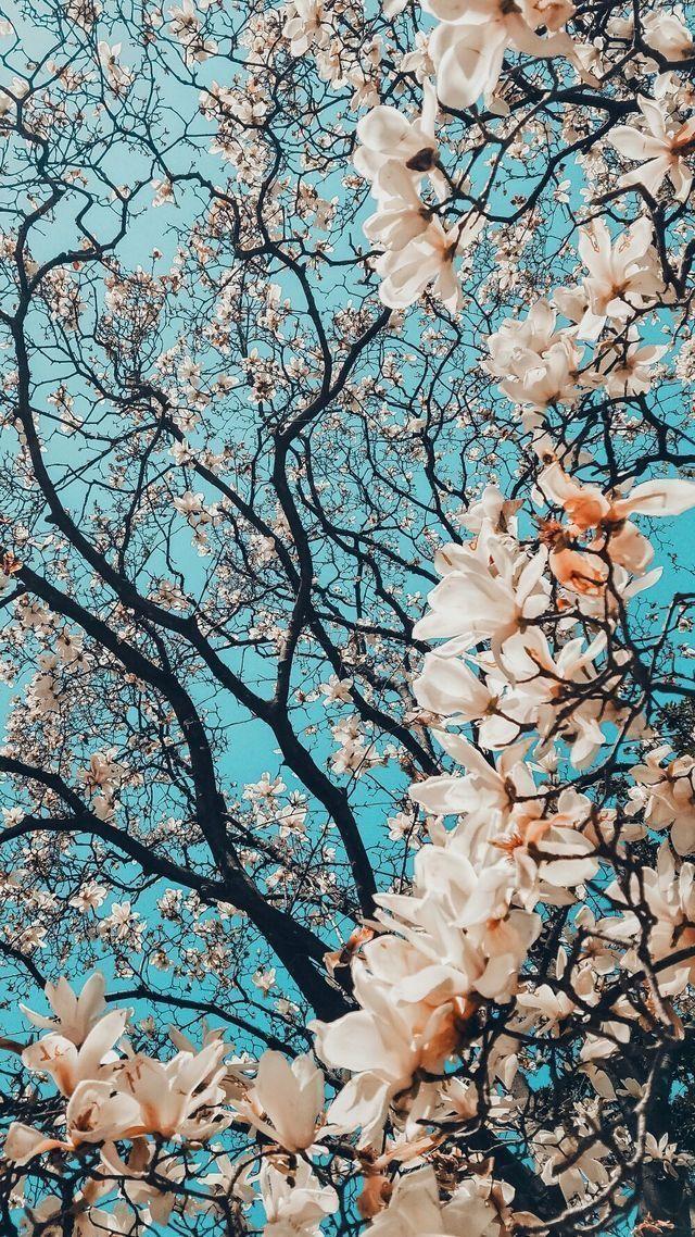 Blumiger Baum Hintergrund, Blumen, Hintergrund Blu…