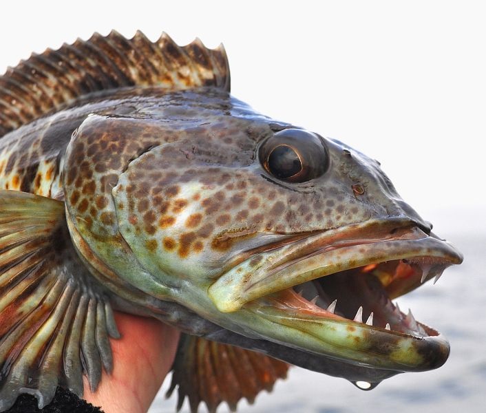 Lingcod commonly targeted species for the dory fleet can for California saltwater fish species
