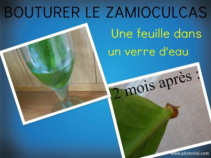 Bouture de feuille de Zamioculcas http://lejardindepascaline.blogspot.fr/2014/06/bouture-zamioculcas.html