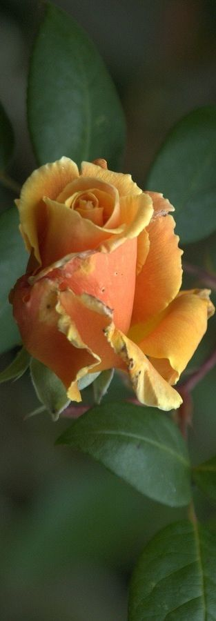 "Orange Rose ~ Miks' Pics ""Flowers ll"" board @ http://www.pinterest.com/msmgish/flowers-ll/"