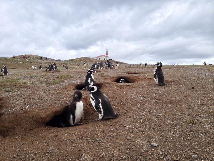 Isla Magdalena en Magallanes y de la Antártica Chilena Pingüin colonie in the south of Chile