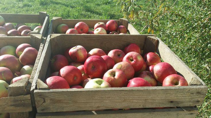 z takich cudownych jabłek powstaje nasz wyjątkowy mus !