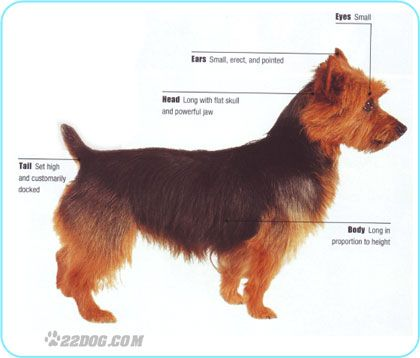 This looks EXACTLY like my Aussie Terrier <3
