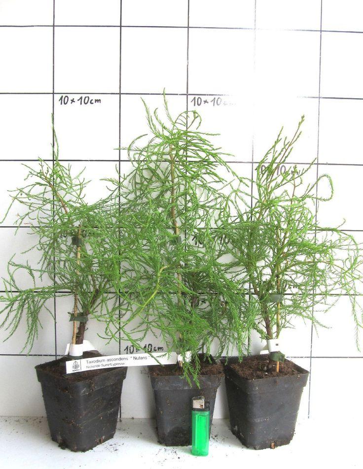 Taxodium Ascendens Nutans Sehr Seltene Nickende Sumpfzypresse   eBay