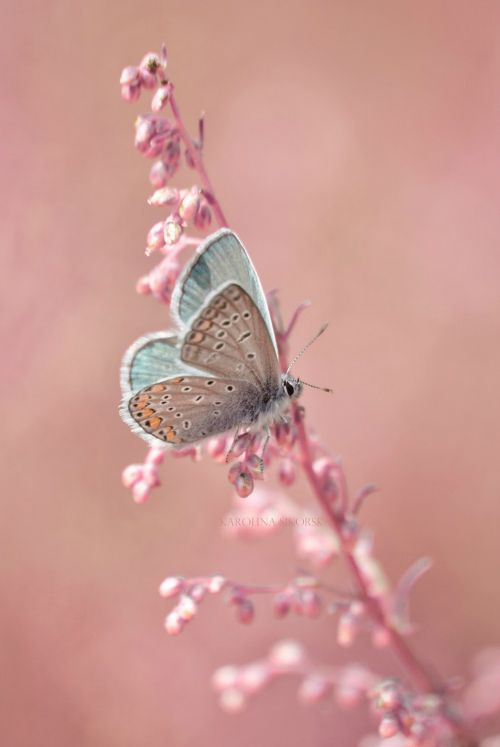 Butterfly | Pantone Color of the Year - Rose Quartz & Serenity
