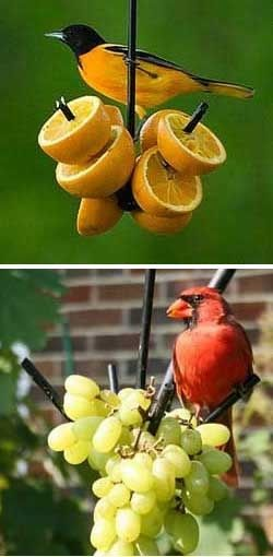 Bird watching in the garden - Feed them fresh fruit - Baltimore Orioles love oranges and Cardinals love grapes.