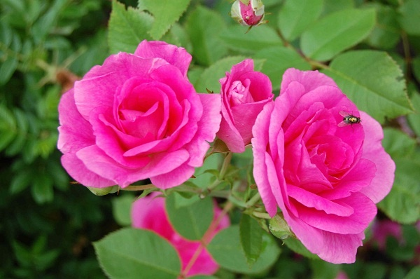 """Roses In Garden: 17+ Best Images About """"CANADIAN""""bread""""ROSES""""EXPLORES""""and"""