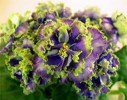 African Violet Saintpaulia Plant Vodyanoy Marvelous | eBay