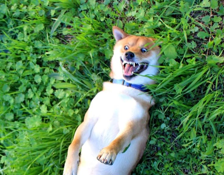 Shiba play, only shiba owners get that this is not attack face haha....