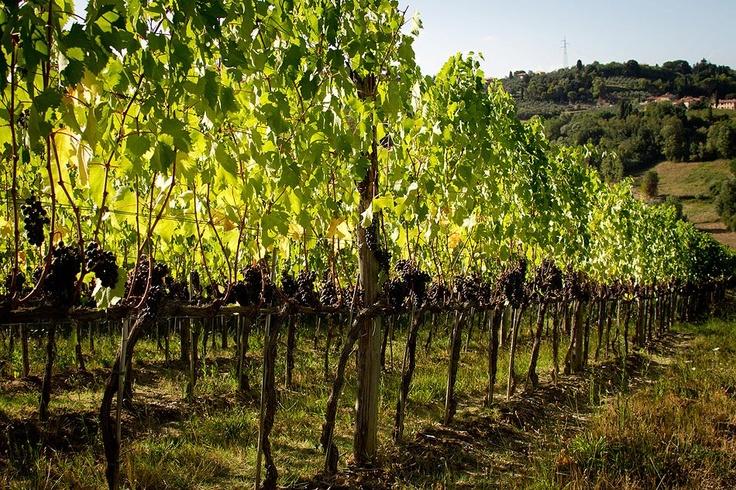 the_vineyards_fattoria_fibbiano
